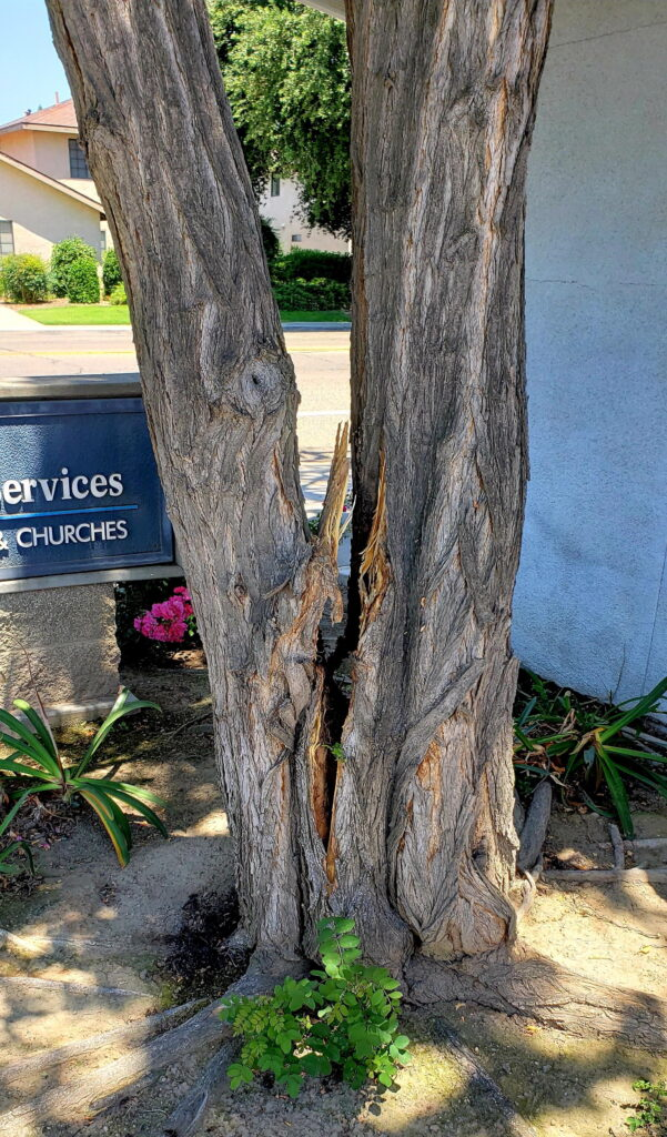 cracked tree