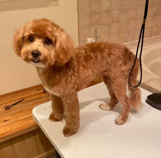 a small brown dog standing on a grooming table